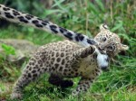 cheetah cub pulling tail